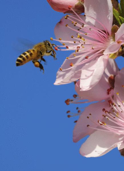 Les abeilles - illustration 8
