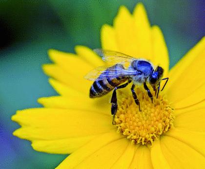 Les abeilles - illustration 11