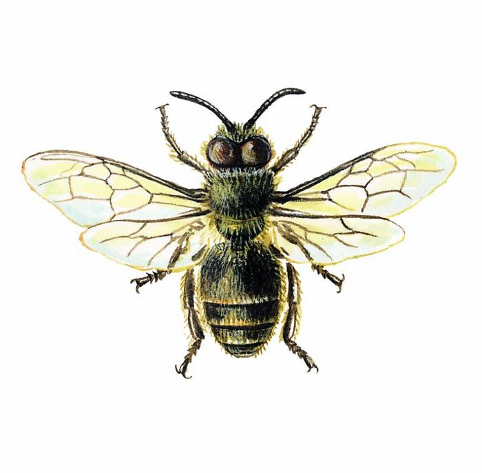 Les abeilles - illustration 7