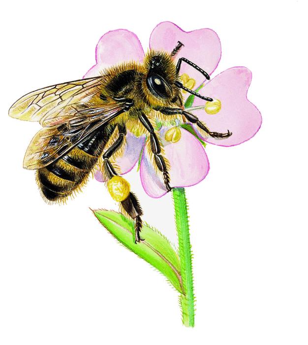 Les abeilles - illustration 6