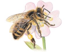 Les abeilles - illustration 10