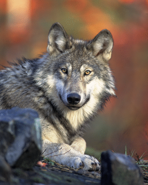 Le loup - illustration 1