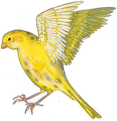 Le canari merveilleux - illustration 2