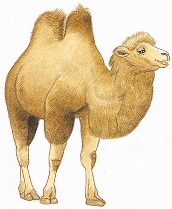 Le petit chacal et le chameau - illustration 3