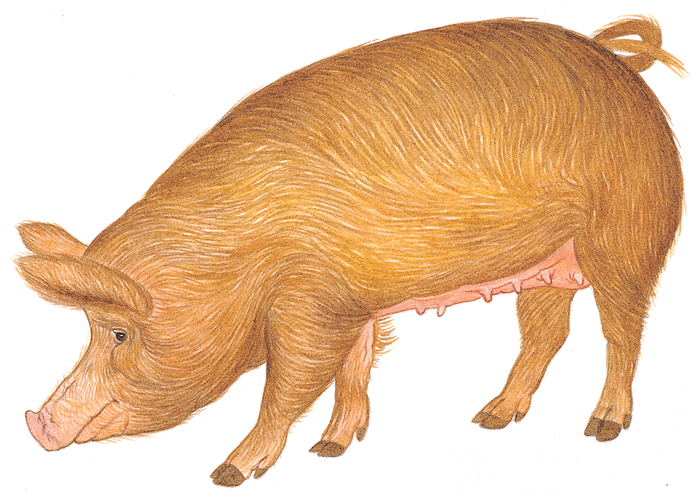 This little piggy - illustration 2