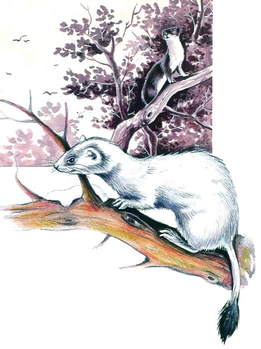 L'hermine et l'hiver - illustration 4