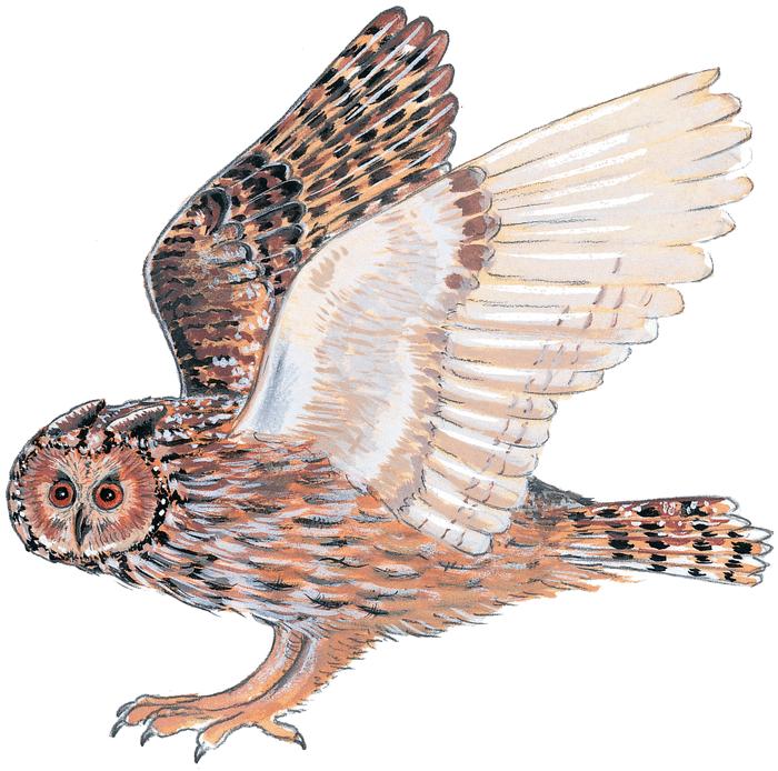 Coucou, hibou - illustration 2