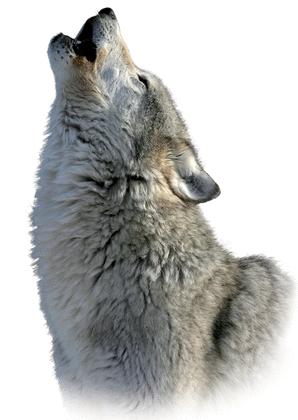 Le loup - illustration 3