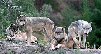 Le loup - illustration 4