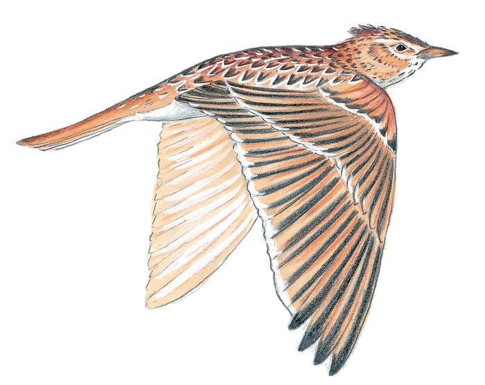Alouette - illustration 2
