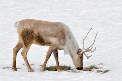 La Finlande, le pays du Père Noël - illustration 3