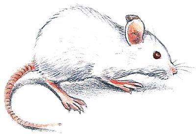 Une souris verte - illustration 2